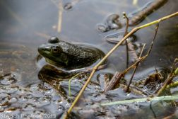 Frogs_4
