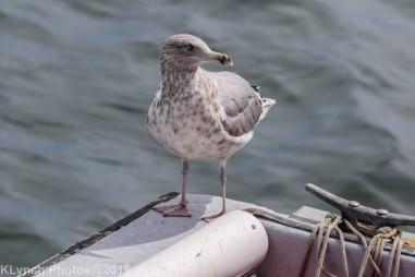 Gulls_10