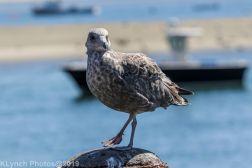 Gulls_14