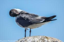 Gulls_16
