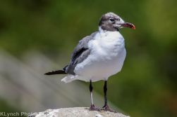 Gulls_17