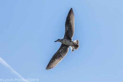 Gulls_19