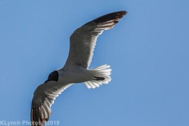 Gulls_21