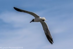 Gulls_28