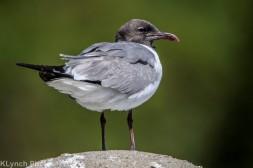 Gulls_3