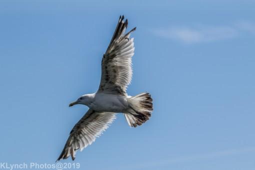 Gulls_30