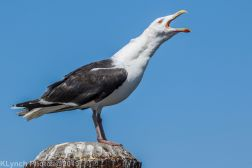 Gulls_36