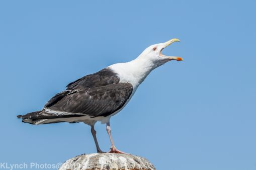 Gulls_41