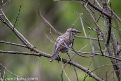 Mockingbird_1