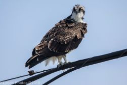 Osprey_13