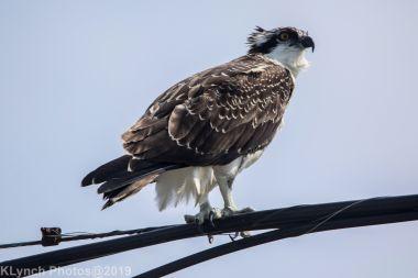 Osprey_9