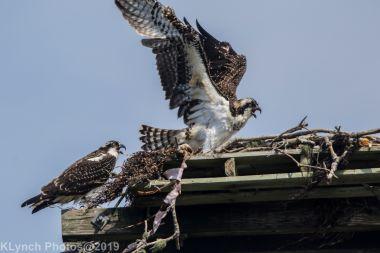 Ospreys_10
