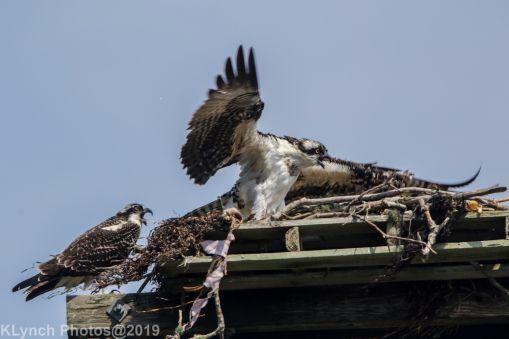 Ospreys_11