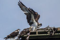 Ospreys_13