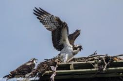 Ospreys_14