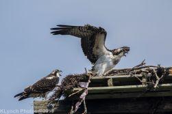 Ospreys_17