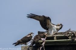 Ospreys_18