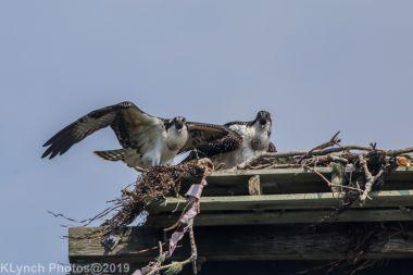 Ospreys_20