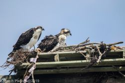 Ospreys_24