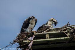 Ospreys_26