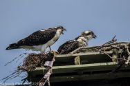 Ospreys_31