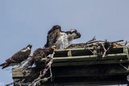 Ospreys_4