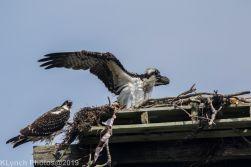 Ospreys_6