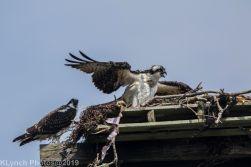 Ospreys_7