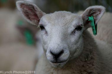 Sheep_10