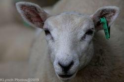 Sheep_13