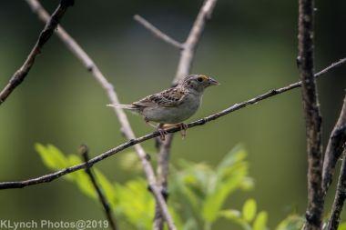 Sparrow_10