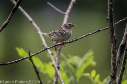 Sparrow_12