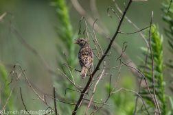 Sparrow_4