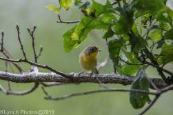 Warbler_12