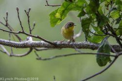 Warbler_13