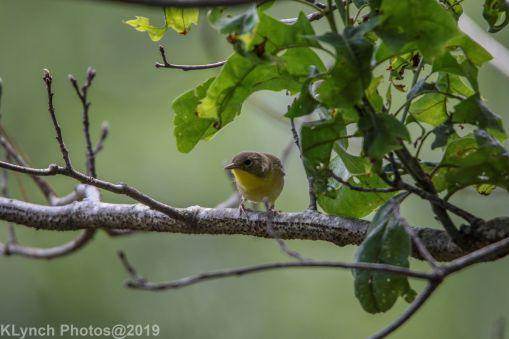 Warbler_8