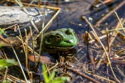 Frogs_1