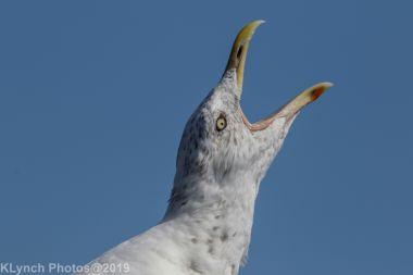 Gull_10