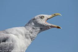 Gull_15
