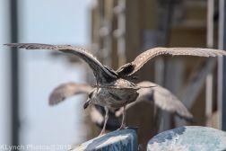 Gull_16