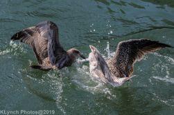 Gull_17