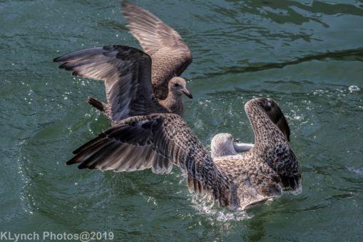 Gull_19