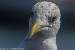 Gull_23