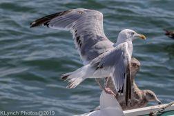 Gull_25