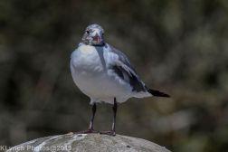 Gull_27