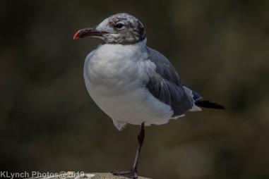 Gull_28