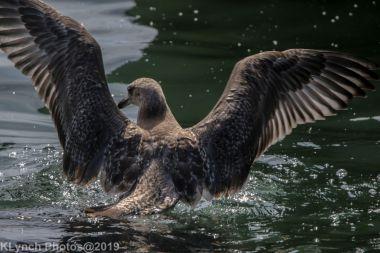Gull_29