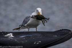 Gull_5