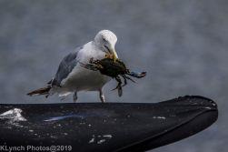 Gull_6