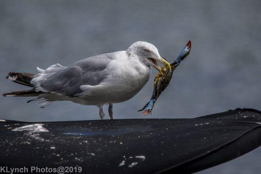 Gull_8